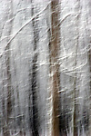A fine art image of trees in a forest blurred vertically with branches that are snow covered in Wisconsin