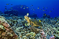 green sea turtle, Chelonia mydas, being cleaned by convict tang, Acanthurus triostegus, and gold-ring surgeonfish, Ctenochaetus strigosus, (endemic to Hawaii), Kona, Big Island, Hawaii, USA, Pacific Ocean