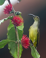 A thick-billed spiderhunter photographed on the grounds of the Borneo Rainforest Lodge.