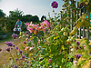 Late Sumer flowers on the allotment.<br /> <br /> Stock Photo by Paddy Bergin
