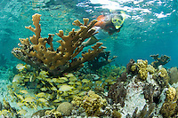 Snorkeler Jen Gibbud with Elkhorn Coral on the reef at Honeymoon Beach.Virgin Islands National Park.St. John, U.S. Virgin Islands