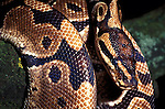 Royal Python, Snake, Python regius, curled around tree trunk, showing patterned skin scales, West Africa, captive.Gambia....
