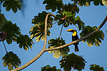 Black-mandibled Toucan (Ramphastos swainsonii), Osa Peninsula, Costa Rica