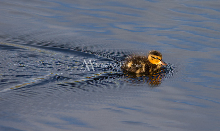 My first look at a baby Cinnamon teal.  They look a lot like Mallards at this age.