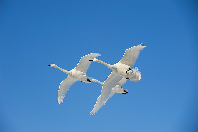 JAPAN, HOKKAIDO ISLAND, LAKE KUSSHARO, WHOOPER SWANS (Cygnus cygnus) IN FLIGHT