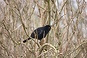 Blackbird (Turdus merula) male sitting in hazel tree, Keeping an eye out for other males. They are originally woodland birds but now widspread and can be found in Scrub, Arable Farmland, Pasture Farmland, Deciduous Woods. Bogs and moorland not so common.