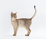 Abyssinian Cat, Male, Chocolate Black Colour, 6 months old