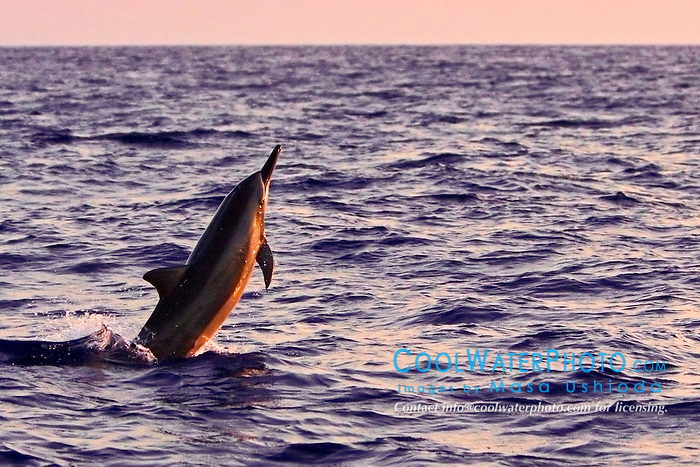 Hawaiian spinner dolphin, Stenella longirostris, jumping at sunset, Kona, Big Island, Hawaii, USA, Pacific Ocean
