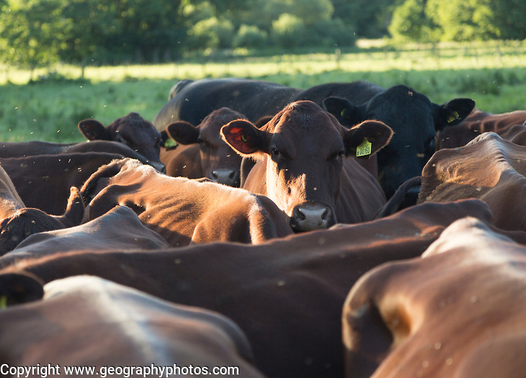 Young red poll cattle crowded together, Sutton, Suffolk, England, Uk