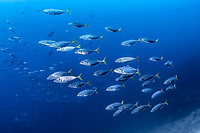 barcheek trevally, Carangoides plagiotaenia, barcheek kingfish, shortridge trevally, oblique-banded trevally, Richelieu Rock, Mu Ko Similan Nationalpark, Andaman Sea, Indian Ocean, Thailand, Similan Islands