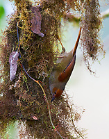 Spinetails