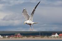 Silbermöwe, im Flug, Flugbild, fliegend, Silber-Möwe, Möwe, Silbermöve, Larus argentatus, herring gull