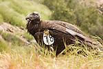 California Condor (Gymnogyps californianus) three year old male with wing tag, Pinnacles National Park, California