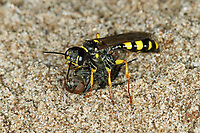Kotwespe, Mellinus arvensis, mit erbeuteter Fliege, Grabwespe, field digger wasp