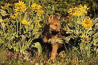 Gray wolf pup (Canis lupus).  June