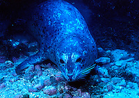Harbor seal.(Phoca vitulina).
