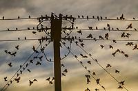 dozens of birds on high voltage cables, flying backlit at cloudy sunset in the Tastiota desert, Sonora Mexico ...decenas de aves en los cables de alta tension, volando a contraluz al atardecer nublado en el desierto de Tastiota, Sonora Mexico..<br /> ..<br /> PALABRAS CLAVES: <br /> (Photo:LuisGutierrez/NortePhoto.com)