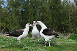 Dancing laysan albatross group of three