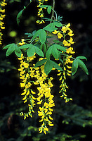 Gewöhnlicher Goldregen, Laburnum anagyroides, Common Laburnum, Golden Chain
