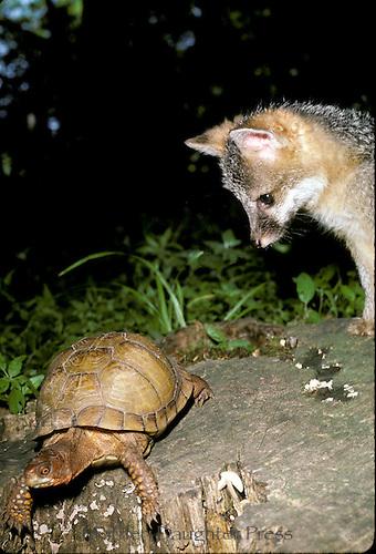 Baby gray fox watches box turtle