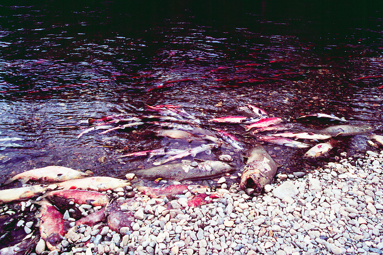 Annual Adams River Sockeye Salmon Run (Oncorhynchus nerka), Roderick Haig-Brown Provincial Park near Salmon Arm, BC, British Columbia, Canada - Dead Fish rotting along Shore - note fish returning to spawn