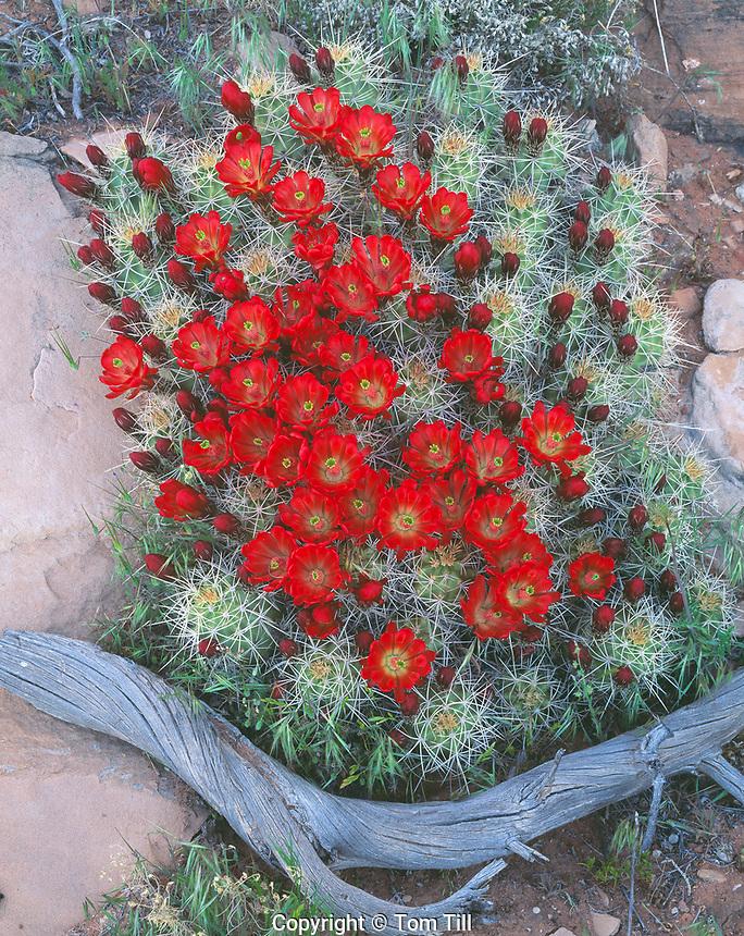 Claret Cup Cactus, Proposed BLM Wilderness, Utah   Echinocereus triglochidiatus