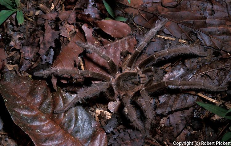 Tarantula, sp. unknown, Family: Theraphosidae, Ground Dwelling, on rainforest floor, Sabah Borneo.Borneo....