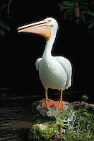 American White Pelican - with breeding plumage.
