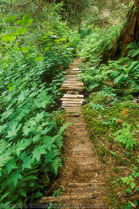Ferns and lush vegetation along a trail through the temperate rainforest of western Prince William Sound, Alaska
