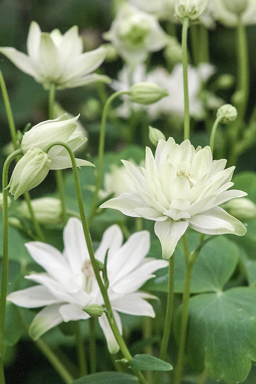 Aquilegia vulgaris 'Clementine White' (Clementine Series), mid May. A new form of spurless, fully double, clematis-flowered aquilegia.