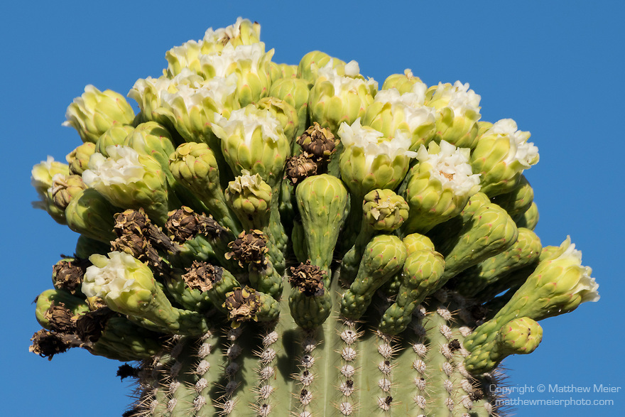 Sabino Canyon Recreation Area, Tucson, Arizona; cactus flowers in various stages from open to withered on top of a Saguaro Cactus in late afternoon sunlight