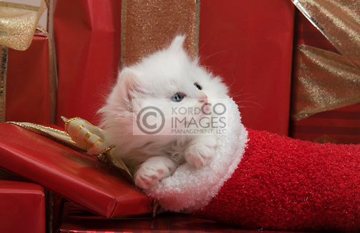 SINGLE 6 WEEK OLD LONG HAIRED WHITE KITTEN IN STOCKING WITH CHRISTMAS PRESENTS