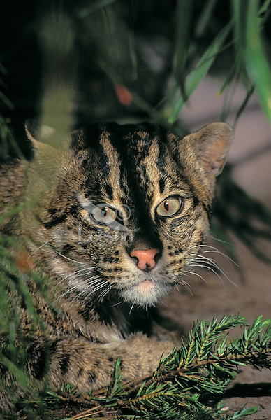 FISHING CAT. Sumatra, Java, Sri Lanka,.Indochina & SW India..(Felis viverinna).