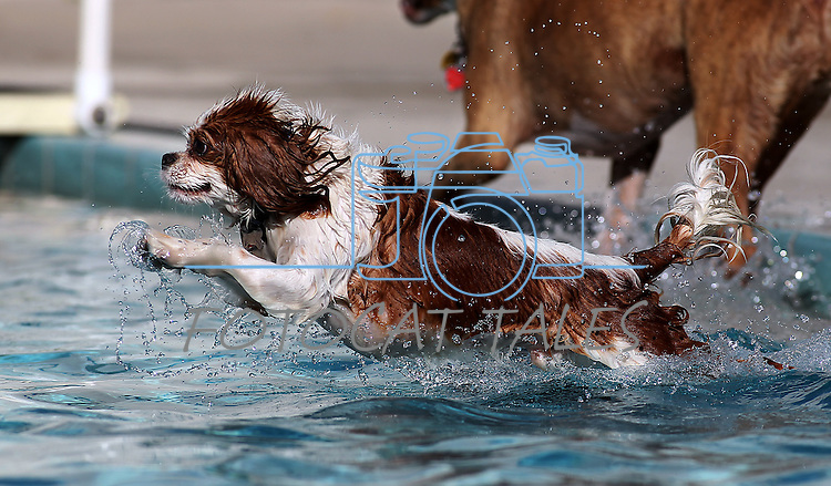 Bisquit enjoys the third annual Pooch Plunge at the Carson Aquatic Facility in Carson City, Nev., on Saturday, Sept. 17, 2011. The event, which raises money for Parks 4 Paws, continues Sunday with sessions at 9 a.m., 11 a.m. and 1 p.m..Photo by Cathleen Allison