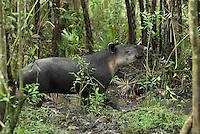 Baird's Tapir (Tapirus bairdii), adult, Belize