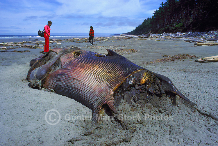 Queen Charlotte Islands (Haida Gwaii), Northern BC, British Columbia, Canada - Dead Beached Humpback Whale (Megaptera novaeangliae) washed up on Sandy North Beach along McIntyre Bay, Naikoon Provincial Park, Graham Island