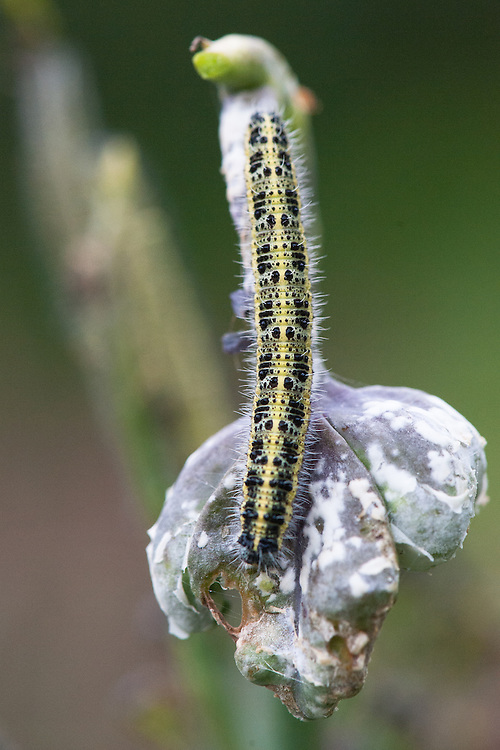 Caterpillar of large white butterfly (Pieris brassicae) on sprouting broccoli, late August.