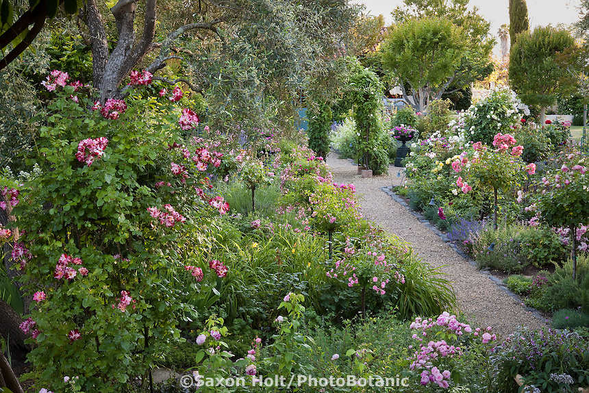 Gravel path through mixed flower garden with wide borders of roses in California wine country garden; Large-Flowered Climbing Rose (Rosa ) 'Fourth of July'