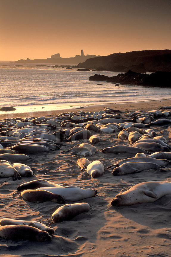 Juvenile female elephant seals hauled out lying on sand beach at sunset, near San Simeon, San Luis Obsipo County Coast, California.