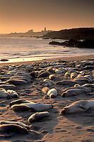 Juvenile female elephant seals hauled out lying on sand beach at sunset, near San Simeon, San Luis Obsipo County Coast, California.