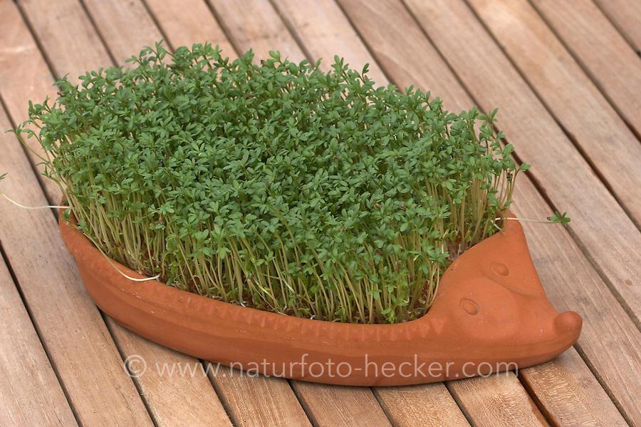 Garten-Kresse, Gartenkresse, Kresse, ausgesät und gekeimt in Igelform aus Ton, Lepidium sativum, Garden Cress, Pepperwort