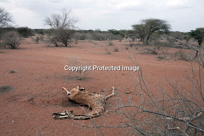 LAGBOGOL, KENYA - JULY 5: The carcass of a Somali giraffe, also known as reticulated giraffe, lies in a barren area on July 5, 2011 in Lagbogol, Kenya. Two successive poor rains, entrenched poverty and lack of investment in affected areas have pushed millions of people into a fight for survival in the Horn of Africa. This is the driest this area has been since sixty years. People in smaller town are usually fortunate to have water. In rural areas, most wells has dried up and some people was as much as eight kilometers to fetch water. Most of the livestock has perished and the remaining stock has often been taken far away for better conditions. Many has even crossed into neighboring Somalia for better pasture.  (Photo by Per-Anders Pettersson)