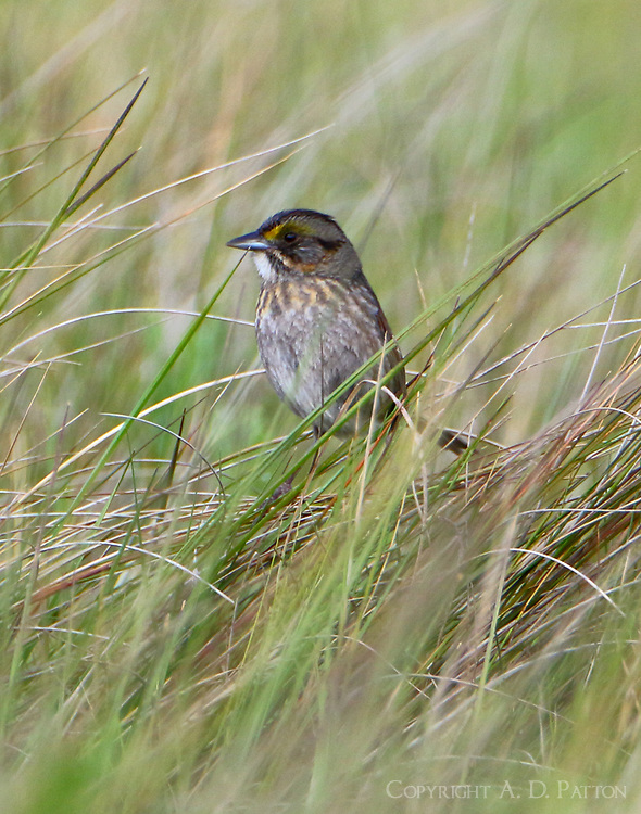 Adult seaside sparrow