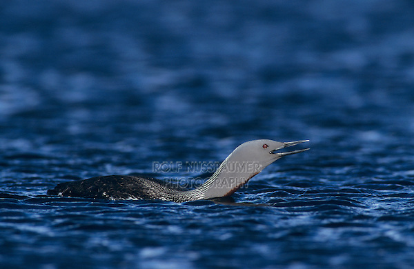 Red-throated Loon, Gavia stellata, adult calling, Kongsfjord, Norway, June 2001