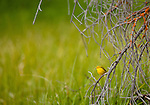 A yellow warbler is perched on a dry branch covered with lichen.