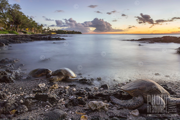 At sunset, three Hawaiian green sea turtles (or honu) sleep on the beach for the night in Puako, Big Island.