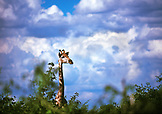 BOTSWANA, Africa, a giraffe peering above the trees, Chobe National Park and Game Reserve