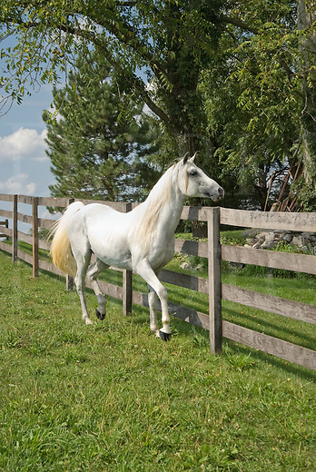 Picture of whte Arabian stallion looking with interest over his pasture fence because of a nearby mare.