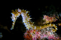Thorny seahorse portrait, Hippocampus histrix, Lembeh Strait, Bitung, Manado, North Sulawesi, Indonesia, Pacific Ocean