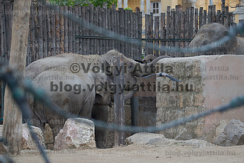 Three days old captive born baby elephant (not visible in picture) meets his father Assam (R) and members of the media the first time after its mother Angele (back) gave birth on 8th November in the City Zoo in Budapest, Hungary on Nov. 10, 2017. ATTILA VOLGYI